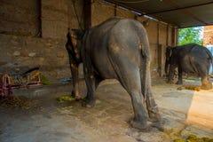 斋浦尔,印度2017年9月20日:未认出的人在他们的脚站立与两头巨大的大象,与链子在斋浦尔 库存图片