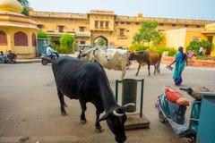 斋浦尔,印度- 2017年9月19日:母牛走冷漠,在城市的汽车和摩托车中交通  免版税库存照片