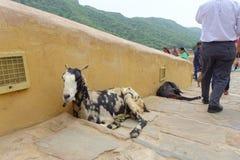 斋浦尔,印度- 2017年9月19日:走近两只野山羊的未认出的人民,在室外在斋浦尔,印度 免版税图库摄影