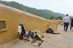 斋浦尔,印度- 2017年9月19日:走近两只野山羊的未认出的人民,在室外在斋浦尔,印度 免版税库存照片