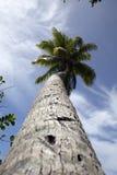斐济棕榈树 库存图片