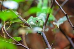 斐济结合了在树的鬣鳞蜥 免版税库存图片