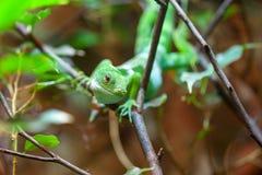 斐济结合了在树的鬣鳞蜥 免版税图库摄影