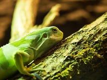 斐济结合了放松在树的鬣鳞蜥 库存图片