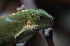 斐济结合了鬣鳞蜥Brachylophus fasciatus 库存照片