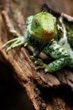 斐济语画象顶饰鬣鳞蜥在vi的Brachylophus vitiensis 免版税库存照片