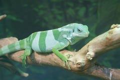 斐济语被结合的鬣鳞蜥- Brachylophus fasciatus 免版税图库摄影