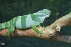 斐济语被结合的鬣鳞蜥- Brachylophus fasciatus 免版税库存图片