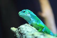 斐济结合了鬣鳞蜥 图库摄影