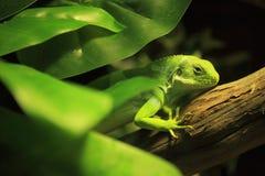 斐济结合了鬣鳞蜥 免版税库存照片