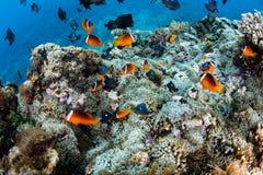 斐济Anemonefish和礁石 库存图片