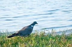 斑尾林鸽。(天鸽座palumbus) 免版税图库摄影