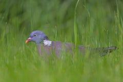 斑尾林鸽。 免版税库存照片