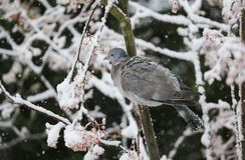 斑尾林鸽天鸽座palumbus的冬天场面在一棵山脉灰树的分支栖息在暴风雪的 它哺养o 免版税库存图片