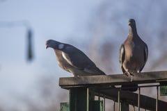斑尾林鸽夫妇 库存图片