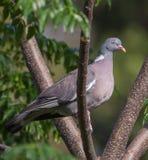 斑尾林鸽的特写镜头 免版税库存照片
