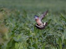 斑尾林鸽飞行 图库摄影
