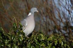 斑尾林鸽,天鸽座palumbus 图库摄影