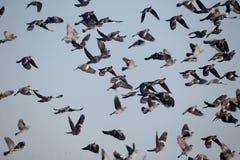 斑尾林鸽,天鸽座palumbus 库存图片