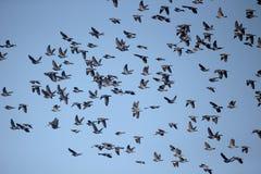 斑尾林鸽,天鸽座palumbus 免版税库存照片