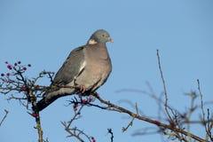 斑尾林鸽,天鸽座palumbus 库存照片