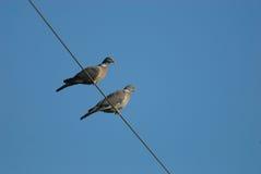 斑尾林鸽 库存图片