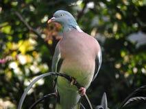斑尾林鸽 库存照片