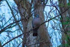 斑尾林鸽 图库摄影