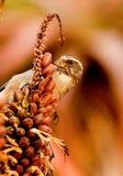 斑斑带头的种子食者 库存照片
