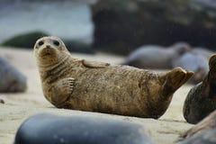 斑海豹。 库存图片
