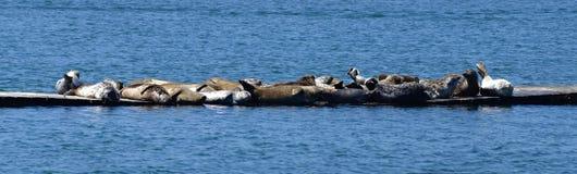 斑海豹在一个小小组聚集在一只浮动跳船的混杂的颜色 库存图片