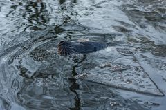 斑海豹在水中 免版税库存图片