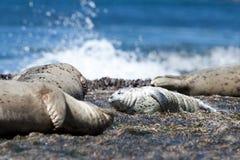 斑海豹小狗 免版税图库摄影
