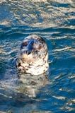 斑海豹或公用印章(海豹属Vitulina) 库存照片