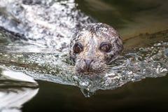斑海豹海豹属vitulina 免版税库存图片