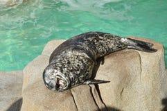 斑海豹笑 免版税库存照片