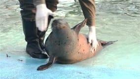 斑海豹(海豹属vitulina)训练 股票录像