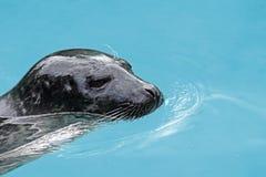 斑海豹画象 免版税图库摄影