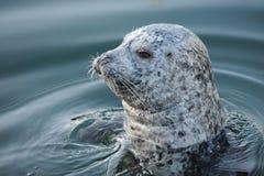 斑海豹 免版税库存图片