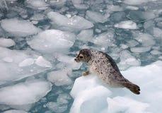 斑海豹 免版税图库摄影