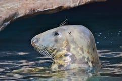 斑海豹 库存照片
