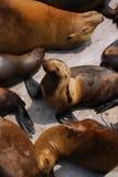 斑海豹 图库摄影