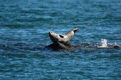 斑海豹 免版税库存照片