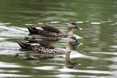 斑点开帐单的鸭子游泳在水中 免版税图库摄影