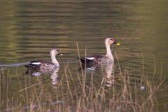 斑点开帐单的鸭子游泳 免版税库存照片