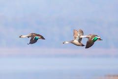 斑点开帐单的鸭子飞行 库存照片