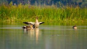 斑点开帐单的鸭子(语录poecilorhyncha), spotbill 免版税图库摄影