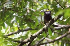 斑点开帐单的toucanet,巴西的鸟 免版税库存照片