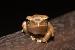 斑点有腿的雨蛙 免版税库存图片