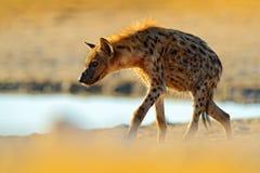 斑点狗,斑鬣狗斑鬣狗,在水坑附近的恼怒的动物,美好的平衡的日落 从自然,野生生物的动物行为 图库摄影